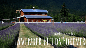 Caryn is teaching lavender distillation and blending at Lavender Fields Forever farm.