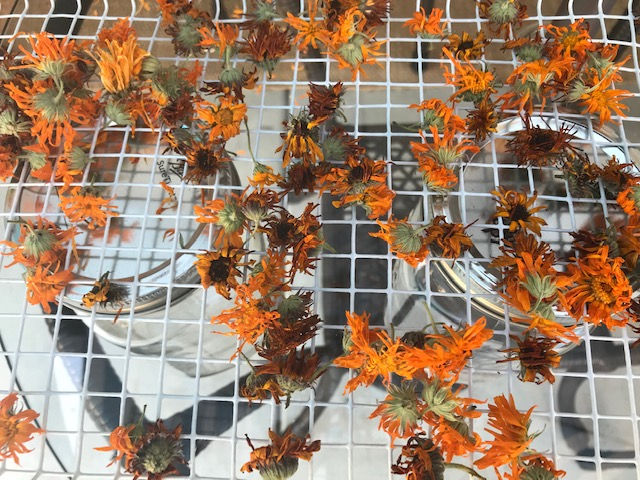 To make Calendula oil, Calendula flowers need to be very dry before putting in the jars of oil so no mold occurs.