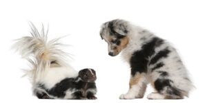 Caryn shares recipes that use essential oils for skunk smell of dogs