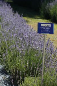 Enjoy our 7 favorite lavender varieties and their uses.