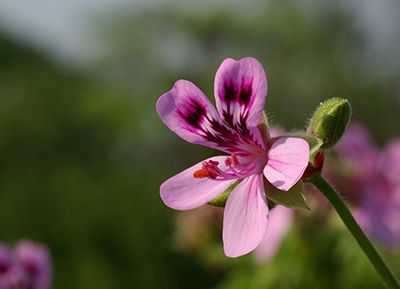add geranium and other essential oils to your DIY mouth washes to treat yeast infection such as thrush