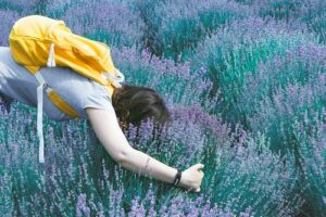 When you use lavender essential oil, there are many ways to benefit from lavender that don't involve putting your face in a lavender bush!