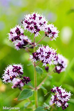 Use marjoram as one of your essential oils for psoriasis