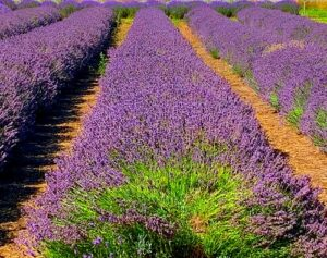 e3's Caryn can determine the differences between the scent of lavender grown in Oregon and the lavender grown in France.